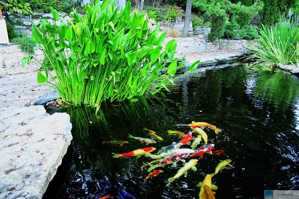 Die datz ausgabe 03 2012 for Einheimische fische gartenteich