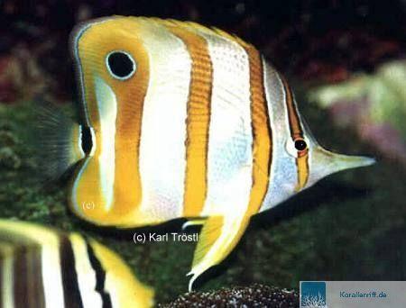 Wenn neue fische nicht fressen wollen for Fressen kois kleine fische