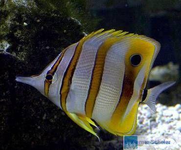 33 falterfische im gemeinschaftsaquarium www for Fressen kois kleine fische