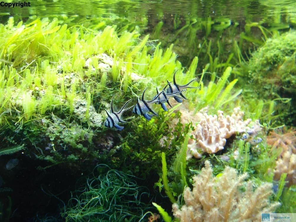 Das nanoriff algen for Algen im aquarium