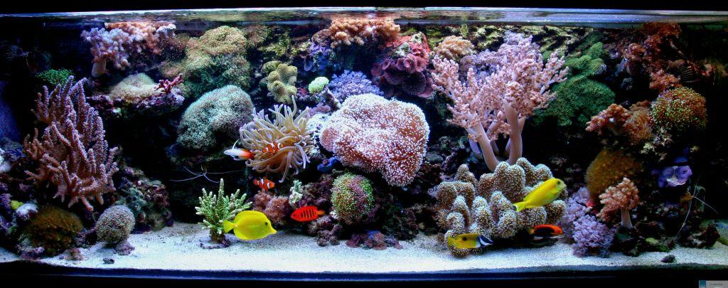 das aquarium des monats juni 2009 thema weichkorallen bzw gemeinschafts aquarien www. Black Bedroom Furniture Sets. Home Design Ideas