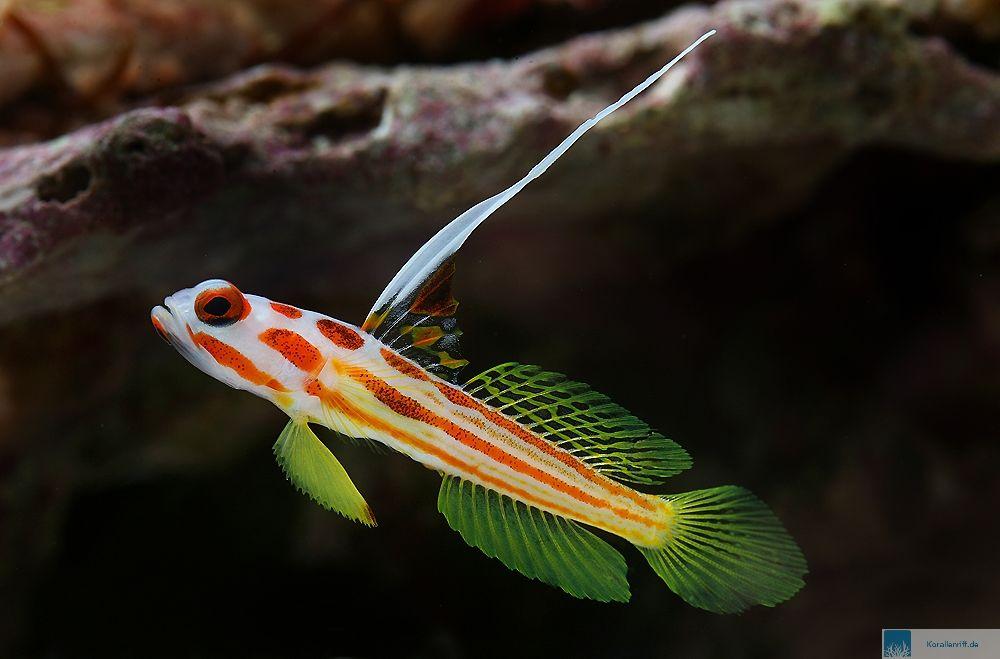 Nano aquarium meerwasser fische zuhause image idee for Kleine zierfische
