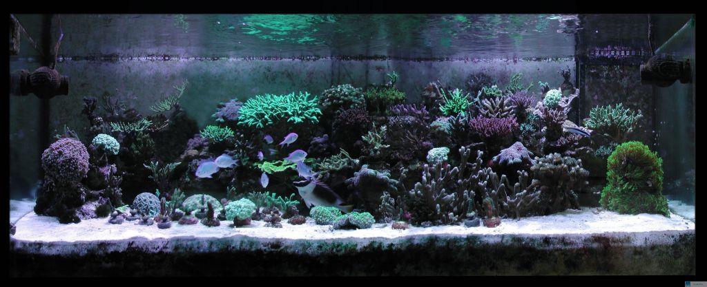 1000 liter meerwasseraquarium glasrosen frei durch die aeolidiella stephanieae. Black Bedroom Furniture Sets. Home Design Ideas