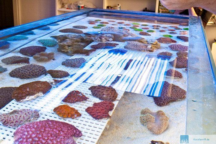 WHITECORALS ERÖFFNET :-) www.korallenriff.de