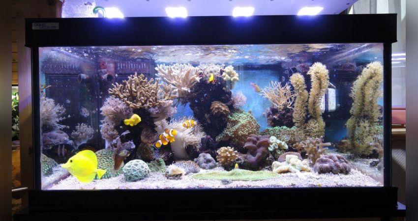 Aquarium Beleuchtung Welche Lichtfarbe | Entwicklung Eines Meerwasseraquariums Unter Der Led Beleuchtung Von
