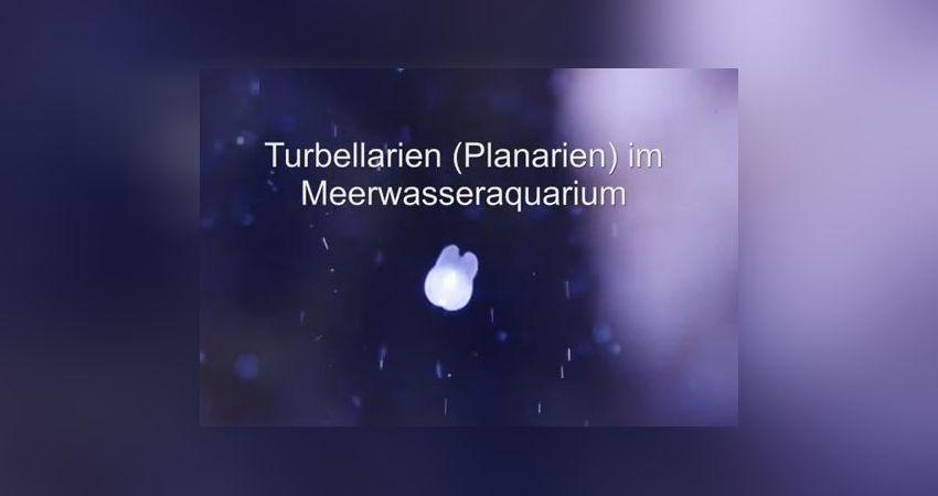 Turbellarien im meerwasseraquarium loswerden einfach for Trauermucken loswerden mit chemie