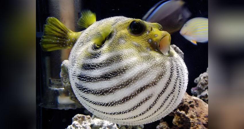 Gift Des Kugelfisches